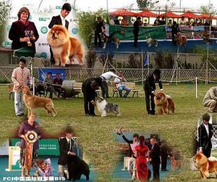 调理DOG SHOW赛犬训练价格60元/天性格动态体型