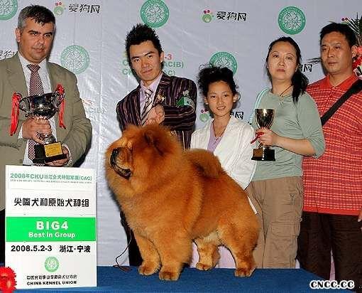 松狮冠军2008年5月2日天意在CKU宁波FCI冠军展获松狮犬冠军