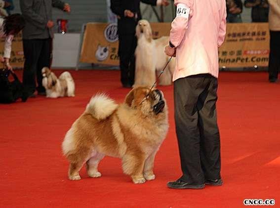 08.03.16CKC全犬种比赛FIRST CASH获全场总冠军