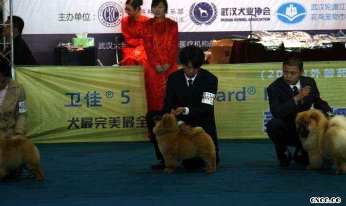 08年11月14日贝克获武汉宠物博览会松狮冠军图片