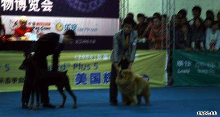 2008.11.14日LEADER获武汉全场总冠军BIS松狮冠军
