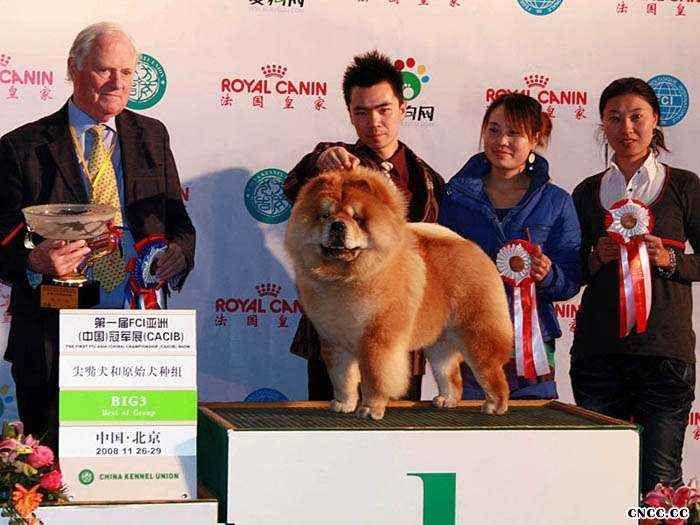 08.11.26HOPE获第一届FCI亚洲中国冠军展松狮冠军图片
