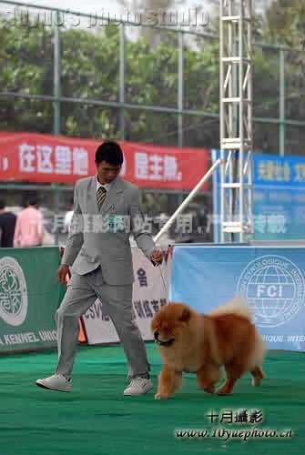 09.2.21-22日HOPE获FCI深圳比赛2个松狮冠军