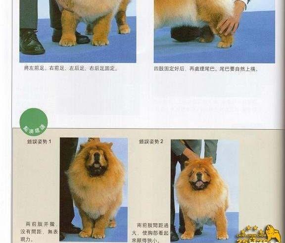 常识大全松狮犬比赛牵犬 松狮犬摆狗展示方法图例