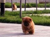 常识大全让松狮定点大便小便定点排便训练松狮幼犬早期训练