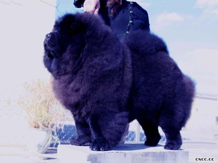 松狮犬雍容的贵族-松狮犬美容转自美国松狮俱乐部图片