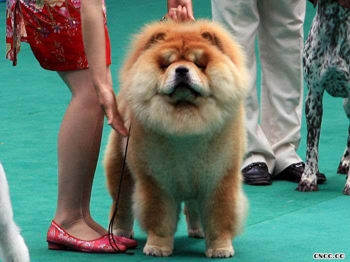松狮犬美容松狮犬美容大全 松狮犬美容 松狮美容方法