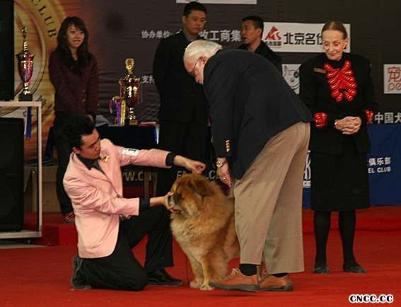 常识大全松狮犬美容步骤松狮犬美容方法比赛松狮犬美容工具