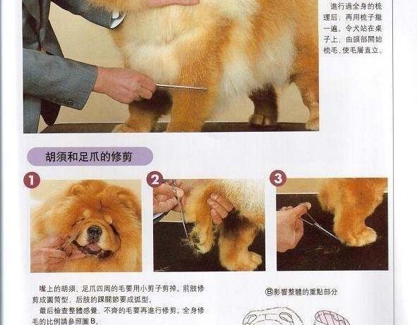 松狮犬美容松狮犬比赛美容 松狮犬梳理毛发方法图例