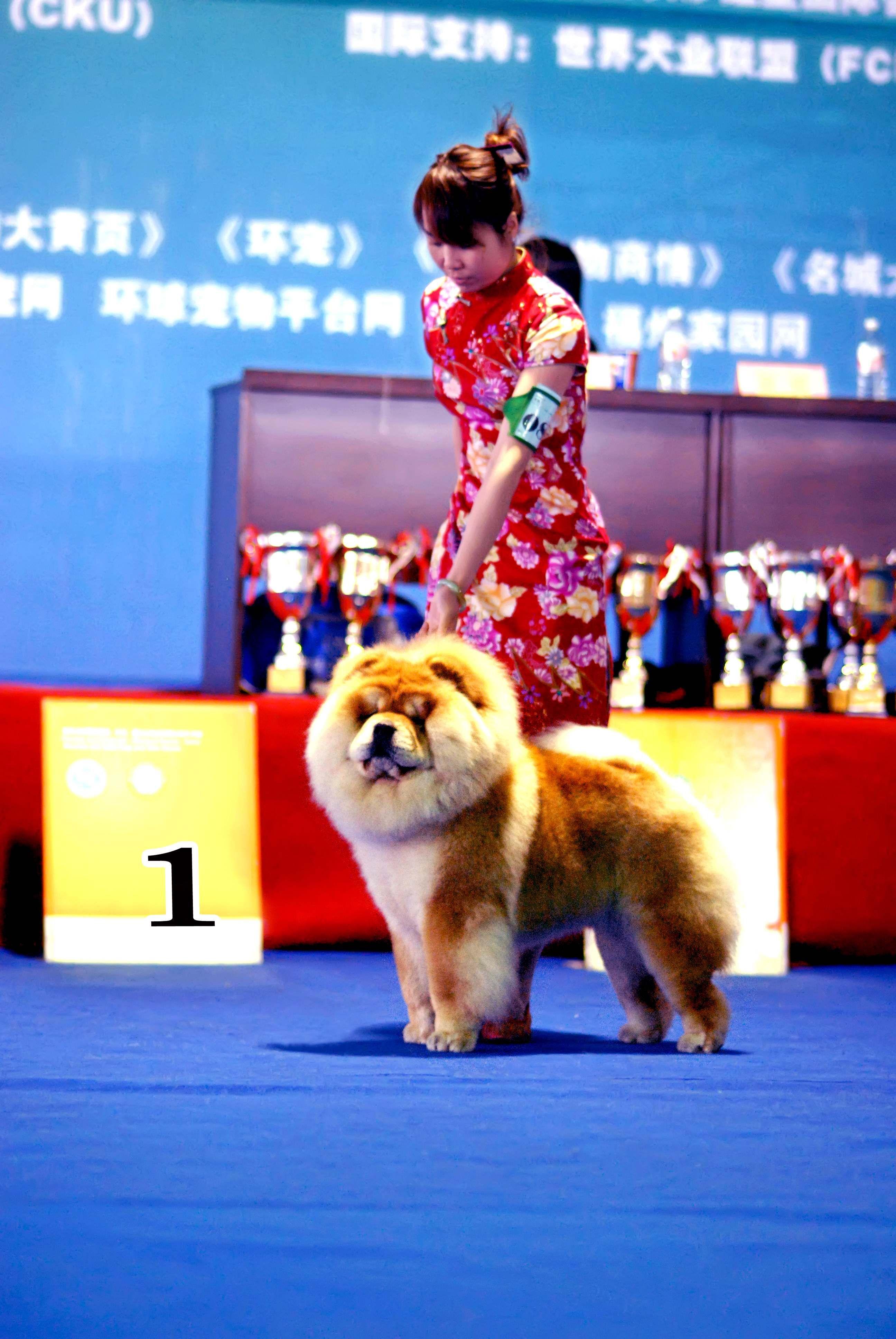 第一希望FIRST HOPE照片松狮犬图片图片