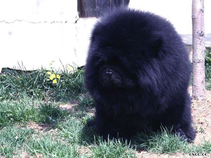 纯种黑色美系松狮犬种公熊仔配种价格