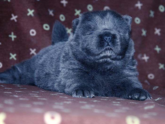 优惠预定赛级纯种赛级蓝色松狮母犬