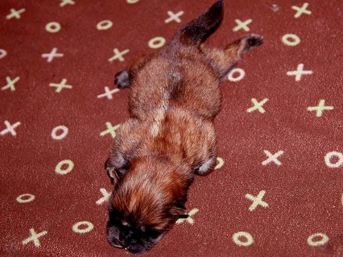 4挑特价美系赛级纯种松狮幼犬出售出售松狮犬价格5800元