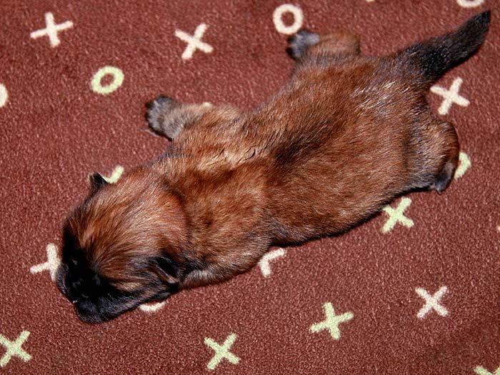 4挑特价美系赛级纯种松狮幼犬出售
