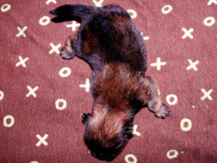 3挑特价赛级纯种美系松狮幼犬出售出售松狮犬价格6800元