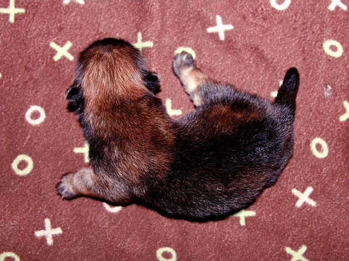 3挑特价赛级纯种美系松狮幼犬出售