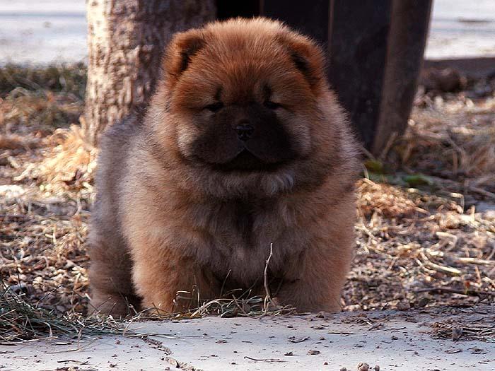 赛级出售特价小现金和安迪少有深红1个母松狮幼犬