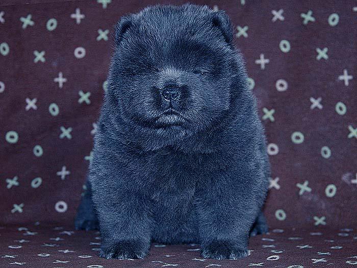 春节优惠预定顶级纯种赛级蓝色松狮母犬