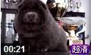 松狮视频25925罕见的蓝色松狮幼犬视频蓝色松狮母犬