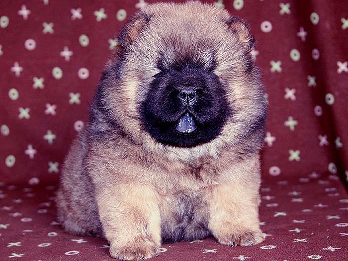 赛级出售1挑特价站神和JJ赛级纯种松狮幼犬出售
