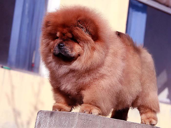 特价FIRST CASH的深红母松狮幼犬出售松狮犬价格4800元