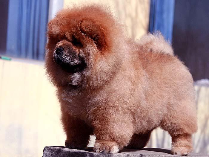 赛级出售特价FIRST CASH深红母松狮幼犬出售