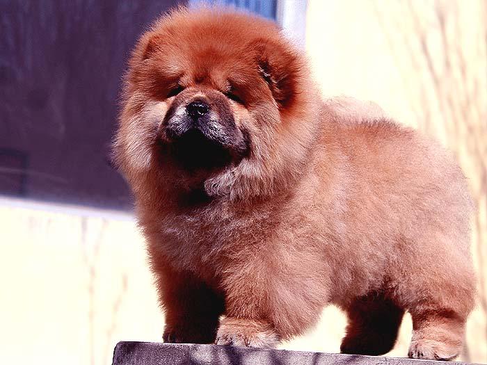 特价FIRST CASH深红母松狮幼犬出售