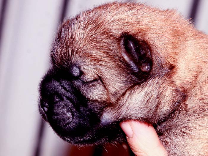 特价优惠优惠出售熊仔万熊赛级红色松狮母犬幼犬