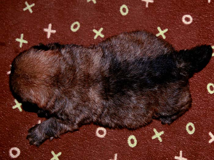特价优惠优惠出售FIRST CASH红色美系纯种松狮幼犬母
