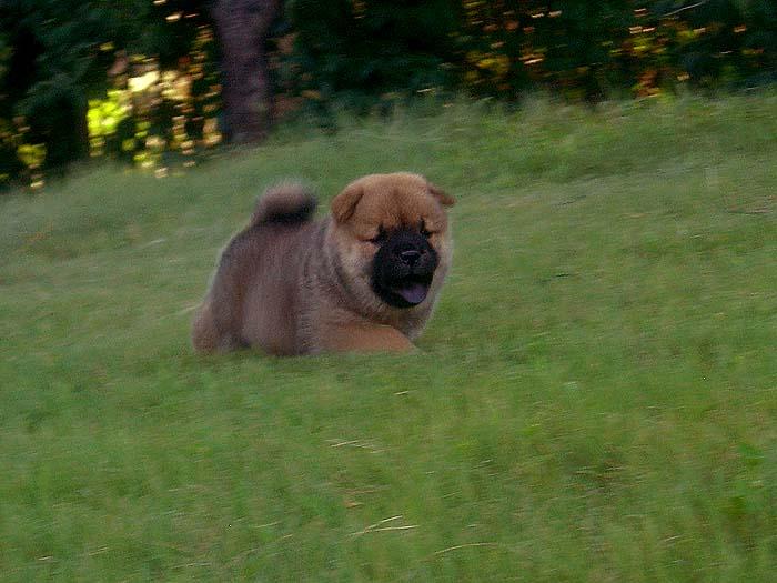 特价出售亲王的美系纯种短毛松狮3个母犬