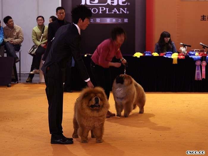 纯种松狮犬不同年龄的长相松狮幼犬成年图片对比