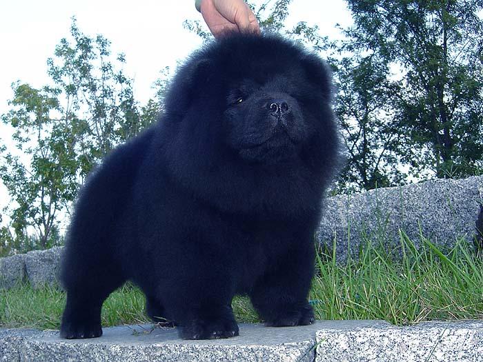 赛级出售优惠出售战神和六万赛级黑色松狮犬公