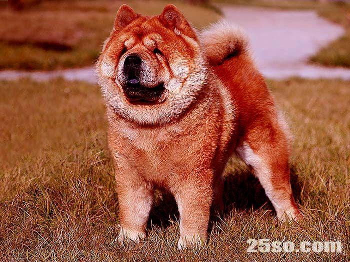 特价出售美系纯种短毛松狮犬幼犬母犬