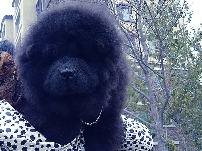 黑金熊 六万和战神的黑色松狮幼犬公犬图片