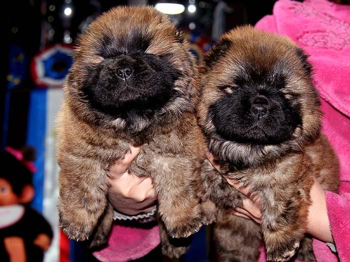 出售赛级纯种松狮犬母犬机遇后代