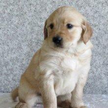 测试出纯种金毛犬幼犬3个月公犬
