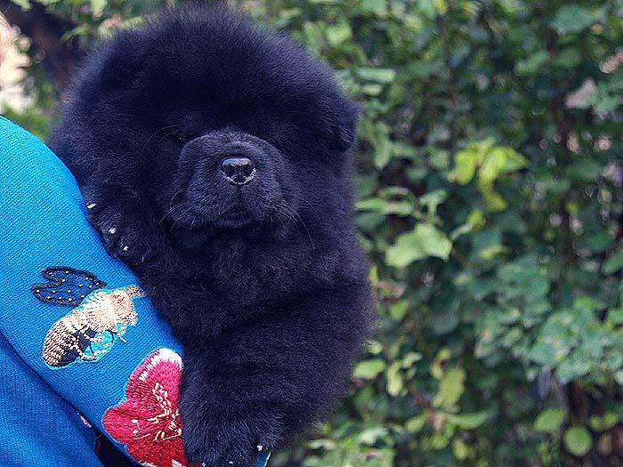 出售银珠的黑色赛级松狮幼犬价格