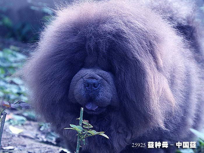 松狮犬种母图片中国蓝-25925蓝色松狮犬种母图片