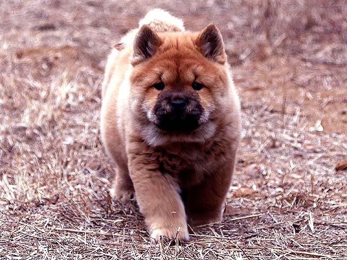 出售红色纯种赛级短毛松狮犬母犬亲王后