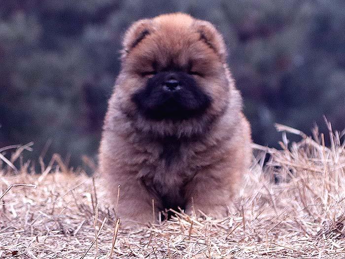 春节优惠红色赛级纯种松狮犬幼犬公出售松狮犬价格12800元