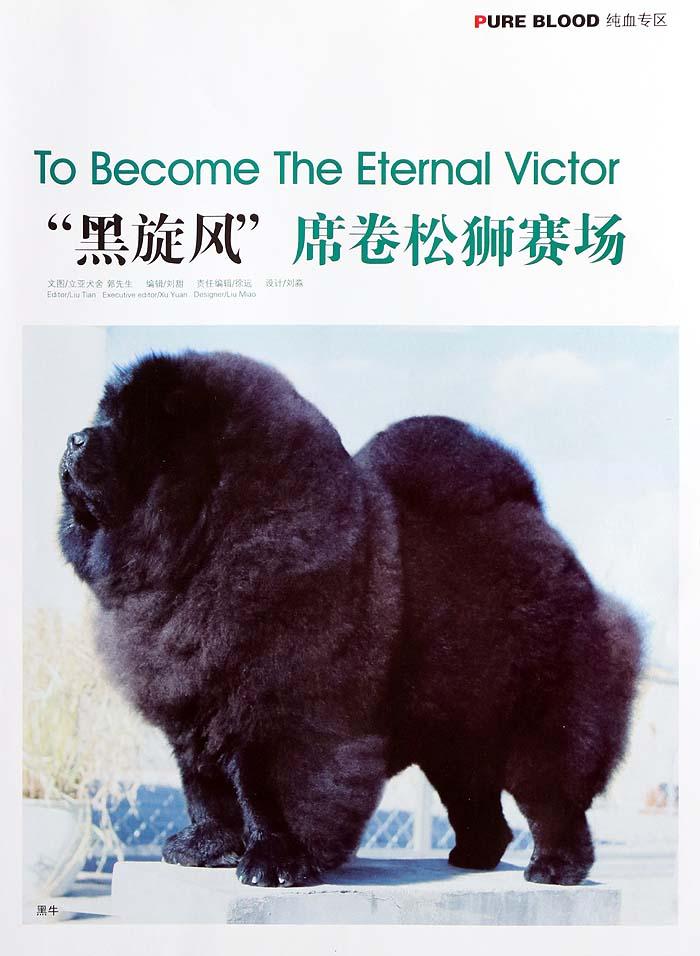 松狮犬介绍宠物杂志备案-黑旋风席卷松狮赛场
