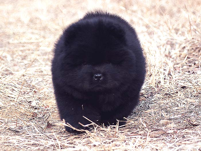 顶级纯种黑色松狮幼犬母犬图片-多宝玉照片