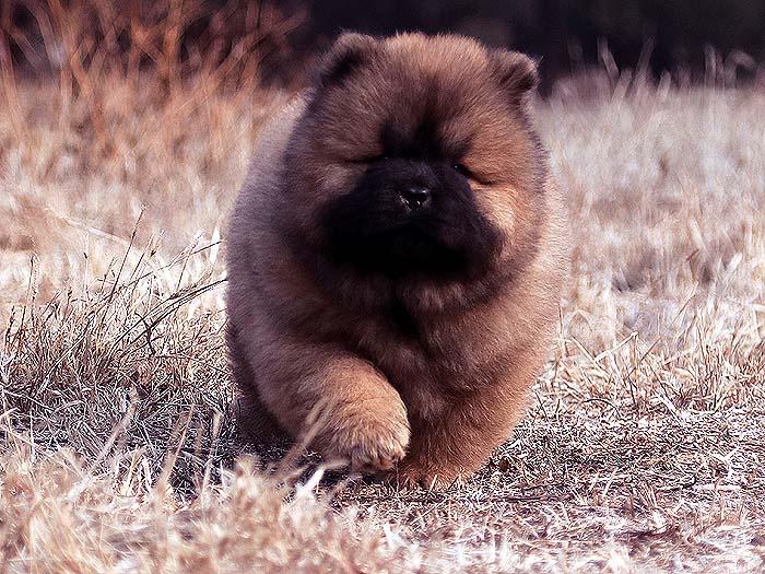 冠军级纯种红色松狮幼犬母犬图片-未来超级种母