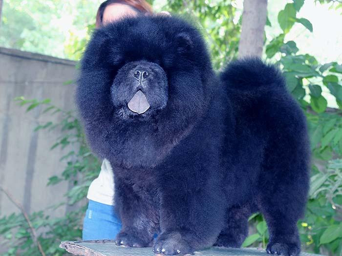6个月赛级纯种黑色松狮犬公犬图片图片