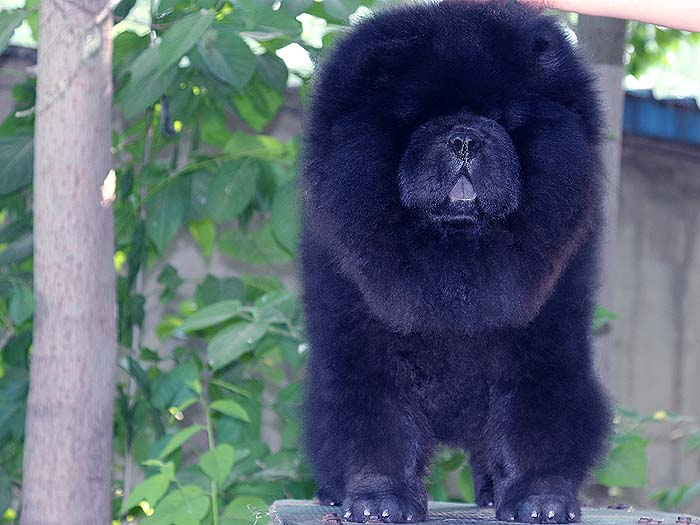 6个月赛级纯种黑色松狮犬公犬图片