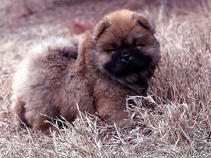 春节优惠红色赛级纯种松狮犬幼犬公