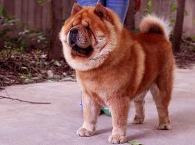 特价出售纯种美系短毛松狮犬种公亲王图片