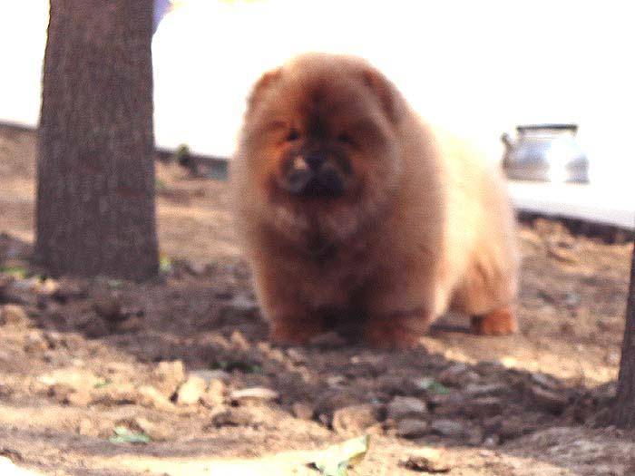 出售纯种松狮犬幼犬三个月公犬