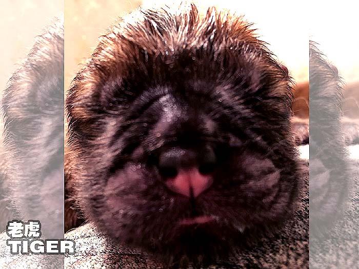 新生代冠军级松狮犬种犬TIGER老虎松狮犬图片记录