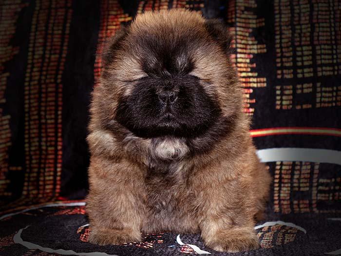 一窝红色赛级顶级松狮幼犬图片照片1